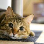 猫のミミヒゼンダニ – 耳が黒く汚れる、臭いがする場合