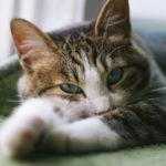 猫の疥癬はレボリューションで治療